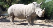 One-of-the-World-s-Six-Remaining-Northern-White-Rhinos-Dies-at-Zoo-in-the-US-467485-5